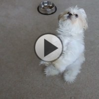 Shih Tzu Dances On Command