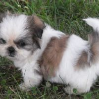 The Ideal Shih Tzu Tail
