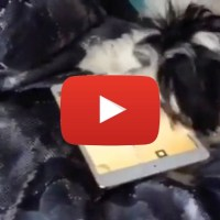 Shih Tzu Playing Tablet Game