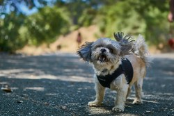 At what age is a Shih Tzu no longer a puppy?