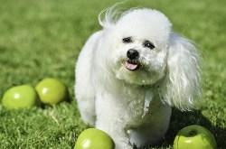 Image of Bichon Tenerife dog