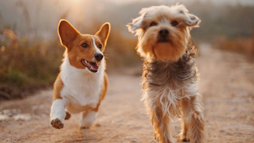 two healthy dogs running thanks to glucosamine