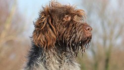 Image of astute Wirehaired Pointing Griffon dog.