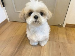 How good are shih tzu as pets