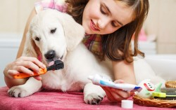 how to brush my dog's teeth: a little girl brushing her Labrador puppy's teeth