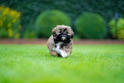 How to train a shih tzu puppy