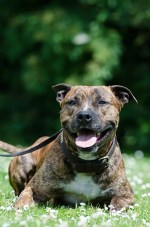 How to train staffordshire bull terrier