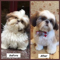 Image of a Shih Tzu before and after grooming