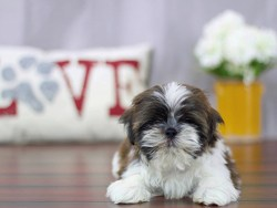 Young Shih Tzu male chilling on the floor looking for attention