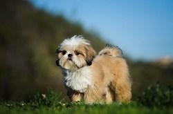 Amazing tri color Shih Tzu dog enjoying a day out