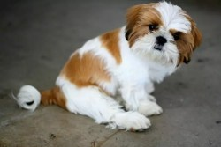 Imperial Tri-colored Shih Tzu puppy sitting on the floor looking to go for a walk