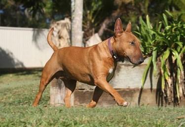 Terrier Dog Breeds
