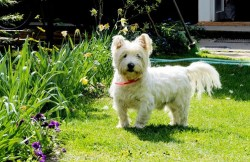 Image of West Highland White Terrier showing its calm temperament