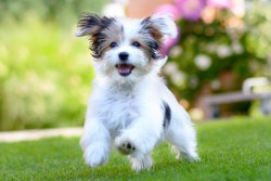 What is a toy dog breed