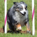 What is the difference between a miniature american shepherd and a miniature australian shepherd