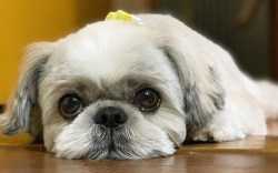 What should my shih tzu look at 1 month pregnant