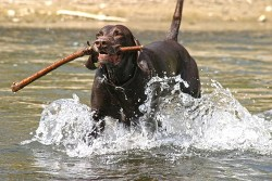 When do german shorthaired pointers calm down