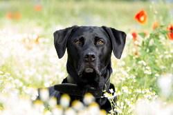 Where did labrador retrievers originate
