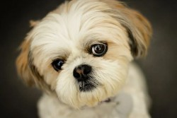 Would a shih tzu be a good dog for a older person
