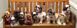 adopting a rescue shih tzu puppy
