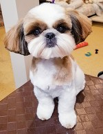 The cutest Shih Tzu you will ever see