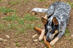 australian cattle dog relaxing and playing with its toy stick