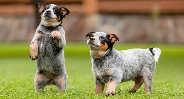 2 amazingly cute Australian Cattle Dog puppies trying to get attention