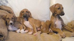 3 azawakh puppies resting on an old rug