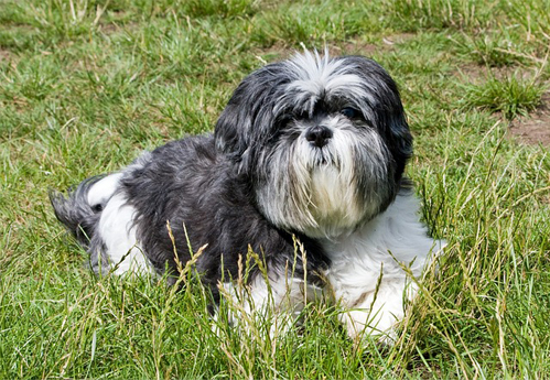 barking shih tzu training - calm shih tzu relaxing in the grass