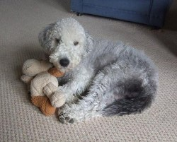 bedlington terrier puppy laying down with its favorite toy