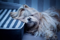 best dog breeds for lazy families