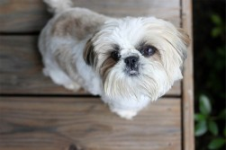 best place to purchase a shih tzu