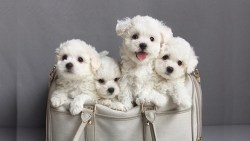 4 cutee Bichon Frise puppies in a laundry basket