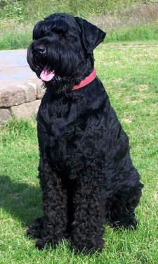 black russian terrier dog sitting on the grass being a good boy