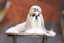 breed standard shih tzu