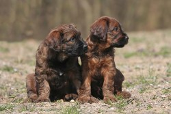 two adorable Briard puppies relaxing outdoors