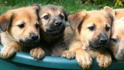 Chinook puppies cuddled together in a basket