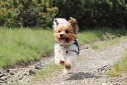 Cute little dog of the toy group running on a dirt road