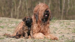 Briard puppy laying next to his mother