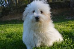 Coton de Tulear looking amazing