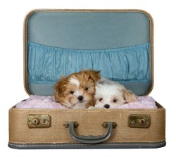 two beautiful Shih Tzu puppies cuddling together in a suit case