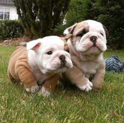 2 adorable bulldog puppies prancing around on the grass
