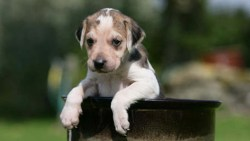 English Foxhound puppy playing and climbing an object