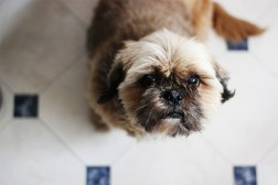 english shih tzu dog looking for a treat