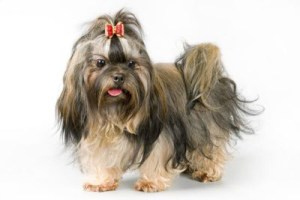English shih tzu with top knot
