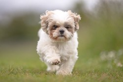 famous shih tzu in history chinese imperial