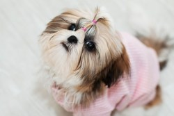 Female Shih Tzu dog looking so cute