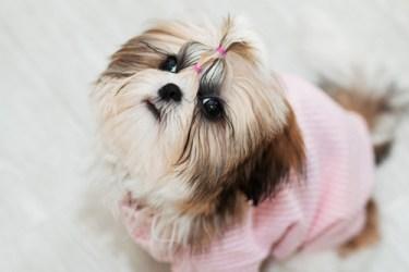 Female Shih Tzu dog looking so cute