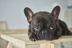 French bulldog laying down looking up with big sad eyes waiting for someone to adopt her