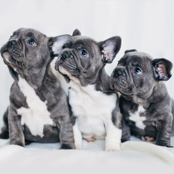 3 amazing looking french bulldog puppies with blue eyes